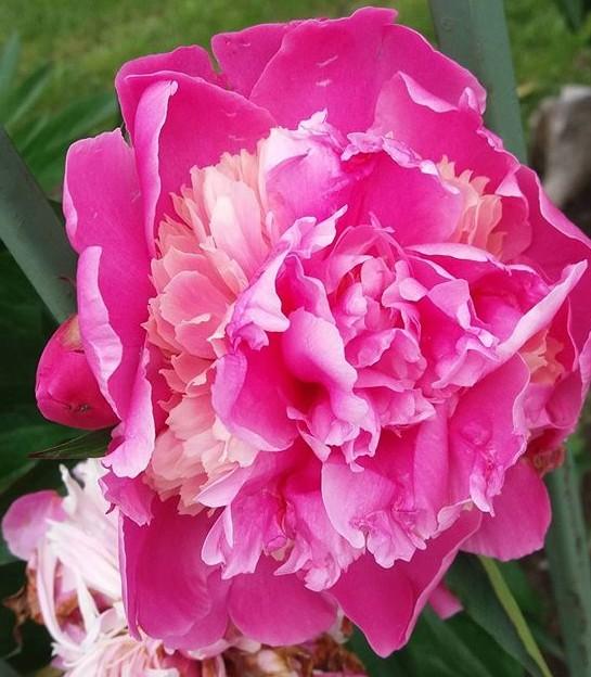 Il bozur, fiore dal colore vermiglio